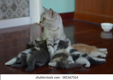 Kitten suckling from his mother's breast.