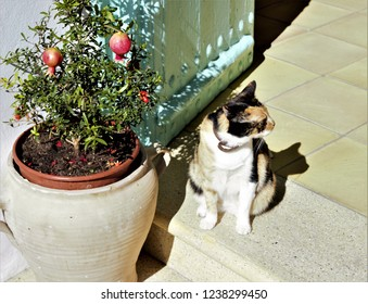 kitten sunbathing at the door of his house next to a pot with a pomegranate, Frigiliana, Málaga, Andalucía, Spain,