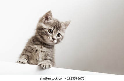 Kitten surprised portrait with paws peeking over blank white sign placard look down. Tabby baby cat on placard template. Pet kitten curiously peeking behind white banner background with copy space.