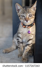 Kitten (Tabby cat) looking in camera. Selective focus. The concept of pets.
