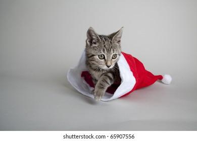 kitten walking out of xmas hat