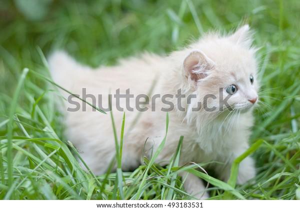 kitten walks in the grass