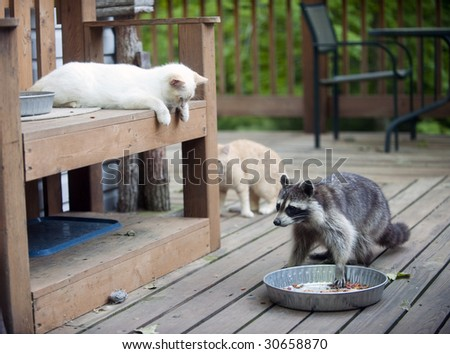 Kitten watching as raccoon moves in to steal food. Shows wildlife and pet interaction