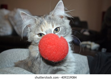 kitten wearing a red nose  red nose day