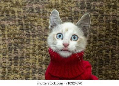 Kitten Wearing Red Sweater