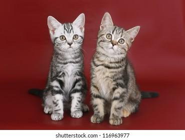 Kittens on burgundy background.