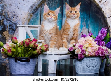 kittens Red-haired Maine Coon