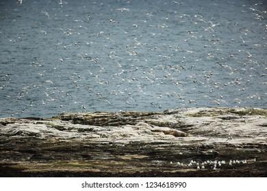 Kittiwake flock in flight