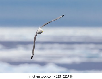 Kittiwake flying. with wings perpendicular to the seaa.