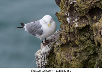 Kittiwake (Rissa tridactyla) on the cliffs of the Isle of May