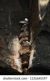 Kittiwake tenants in gulls colony