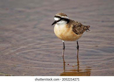 Kittlitz Plover - Charadrius pecuarius small shorebird in Charadriidae, breeds near coastal and inland saltmarshes, riverbanks or grasslands, native to Africa, the Nile Delta and Madagascar.