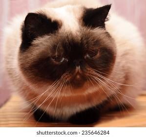 Kitty lies on wooden armchair