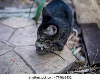 a kitty  movment  playing corpse rat its hunted.pounce  and hold in the mouth.