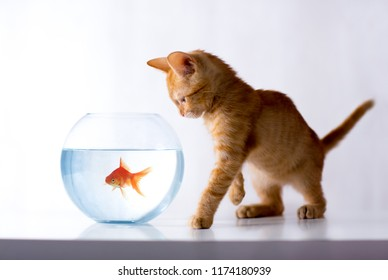 Kitty observers goldfish in a fishbowl