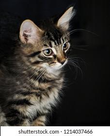 Kitty portrait towards black background