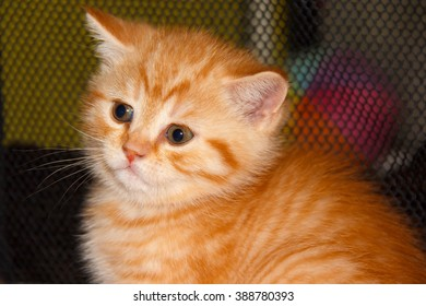 Kitty tabby peach striped color. Home small pet cat. British kitten color gold on silver. Kitten near the cat's house.