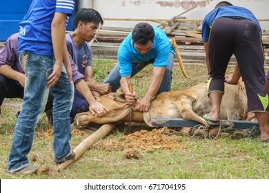 Kiulu Sabah Malaysia - Sep 24, 2015 : A group of  Malaysian Muslims preparing to slaughter a buffalo during Eid Al-Adha Al Mubarak, the Feast of Sacrifice in Kiulu Sabah Malaysia.