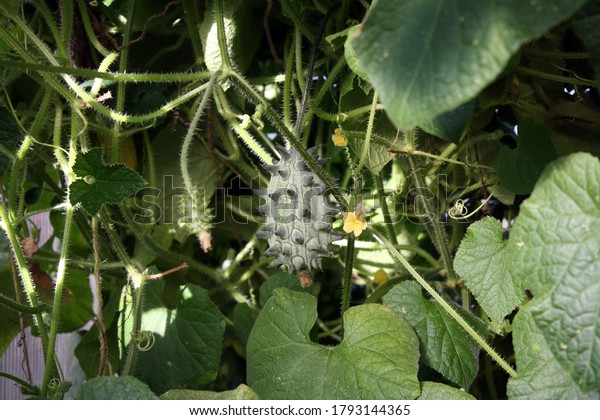 kiwano-african-cucumber-or-horned-600w-1