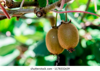 Kiwi fruit on the branch. Some Kiwi on a tree