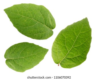 Kiwi leaves isolated on white background