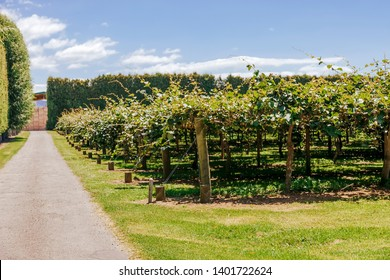 Kiwifruit farm with hedge and crates in Te Puke, New Zealand.