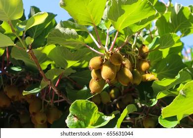 Kiwis growing on a fruit tree in Capri, Italy, Europe