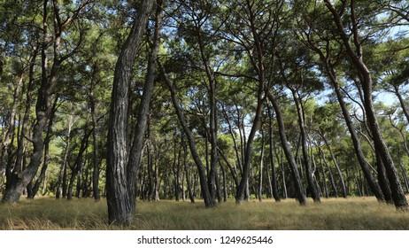 'Kizilcam'(Pinus buritia) Forest in the Belek town/Antalya-TURKEY
