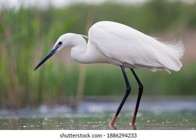 Kleine Zilverreiger jagend in water; Little Egret hunting in water