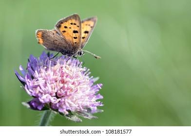 Kleiner Feuerfalter, Small copper sitting on a purple flower