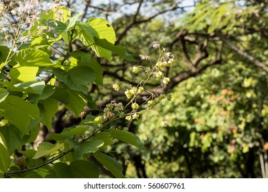 Kleinhovia hospita L., tree have medicinal properties.