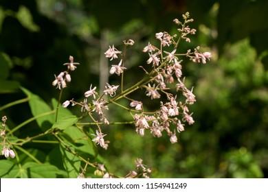 Kleinhovia hospita L.,flowers and tree have property medicine.