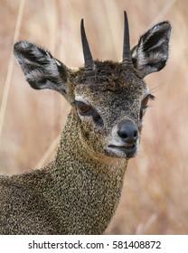 Klipspringer antelope portrait, Serengeti National Park, Tanzania, East Africa.