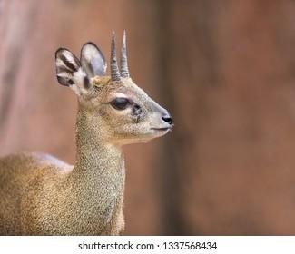 Klipspringer (Oreotragus oreotragus) portrait