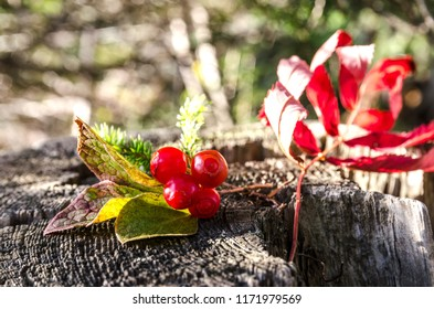 klopovka. Sakhalin berry capable of lowering blood pressure. Vaccinium praestans.