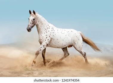 knabstrup horse running in desert