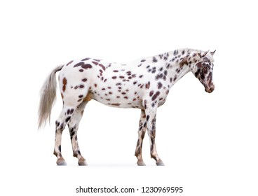 knabstruper appaloosa horse isolated on white