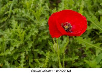 Knallrote Mohnblüte isoliert vor ein grünen Hintergrund. - Shutterstock ID 1994004623