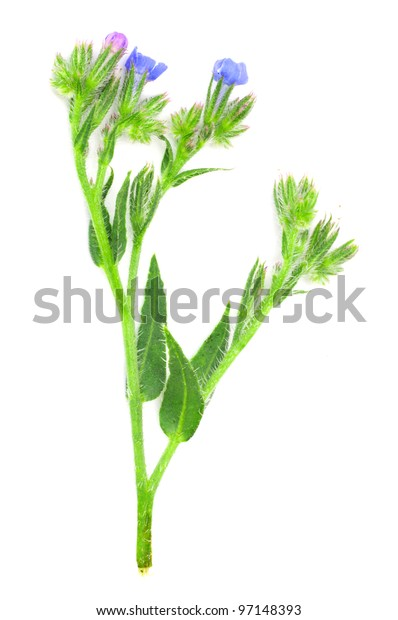 knapweed flower on a white background