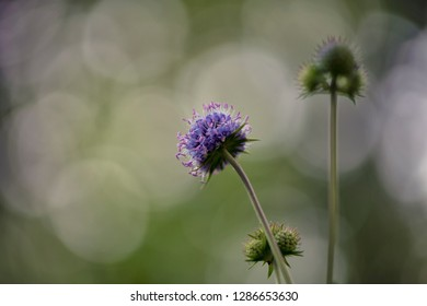 Knautia arvensis (field scabious)