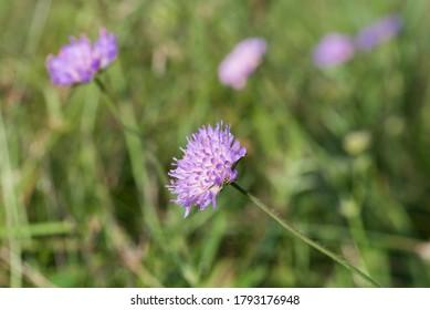 Knautia arvensis, fleurs scabreuses de champs en gros plan mise au point sélective