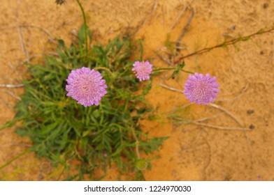 Knautia arvensis or field scabious purple plant