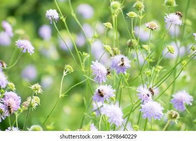 Knautia arvensis, purple little flowers with bees, fresh floral background. Natural field garden. Botanical scene. Netherlands. Soft floral spring scene.