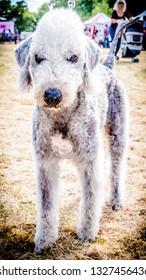 Bedlington+terrier Images, Stock Photos & Vectors   Shutterstock