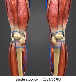 Knee joint muscle anatomy with skeleton and veins anterior view 3d illustration
