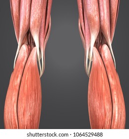 Knee joint muscles anatomy posterior view 3d illustration
