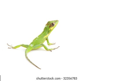 Knight Anole (Anolis equestris) isolated on white background.