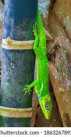 Knight anole (Anolis equestris) on bamboo, vertical - Davie, Florida, USA
