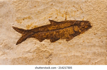 Knightia fish fossil from the Green River Formation, in Wyoming