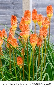 Kniphofia Bengal Fire Blossoming in a Home Garden